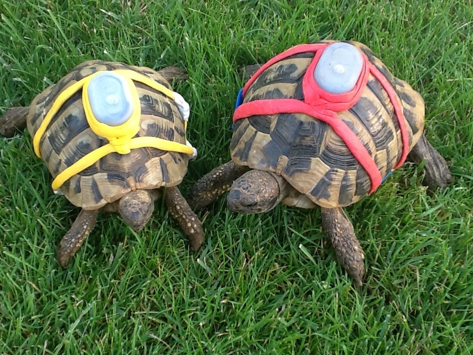 These are my tortoises Walnut and Nick.